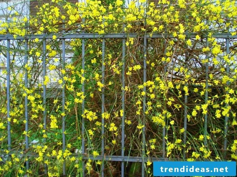 hardy balcony plants yellow