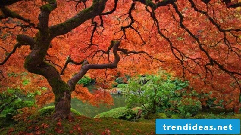 Japanese maple sycamore gorgeous look