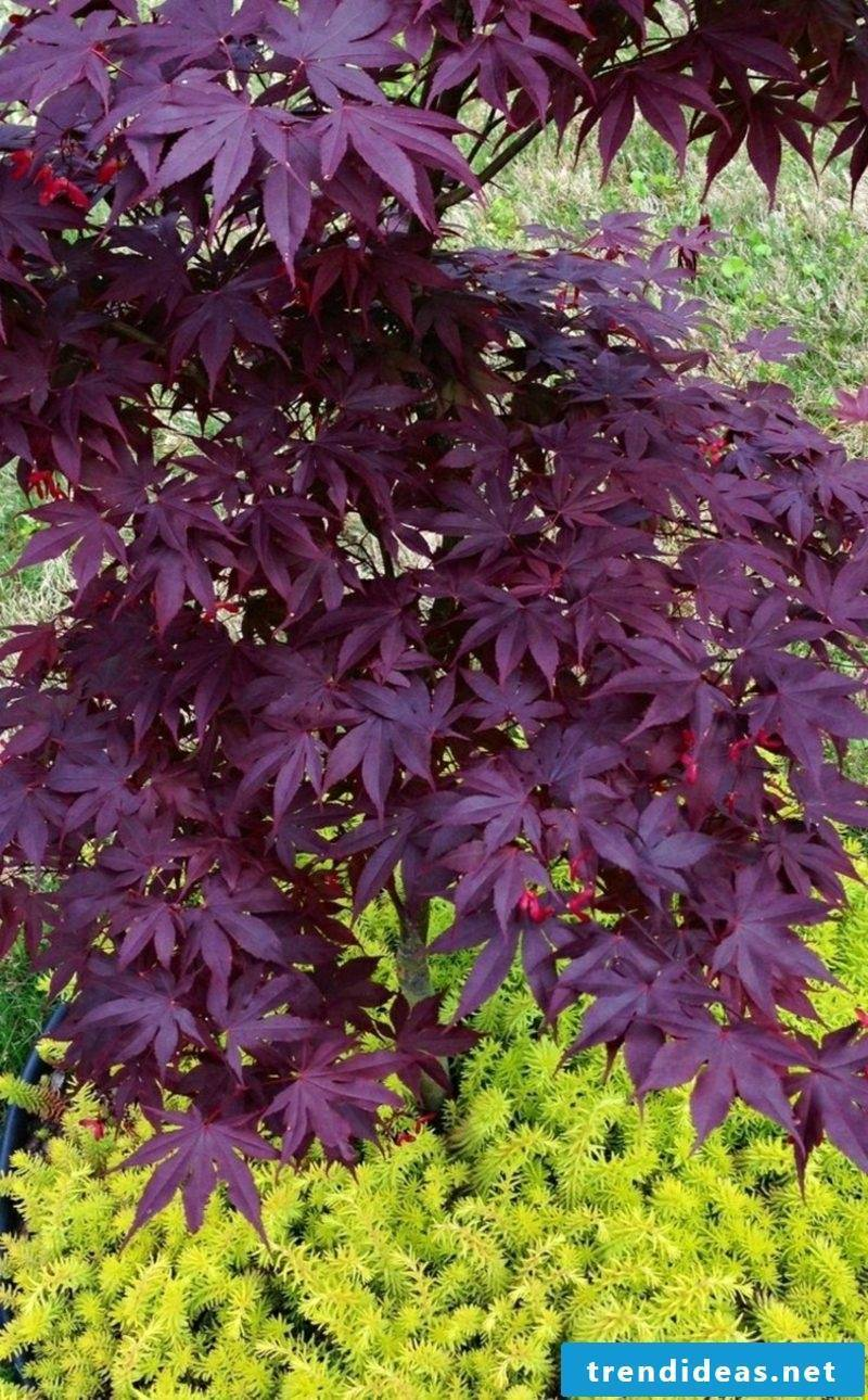 Japanese Maple Sled-pin gorgeous purple leaves