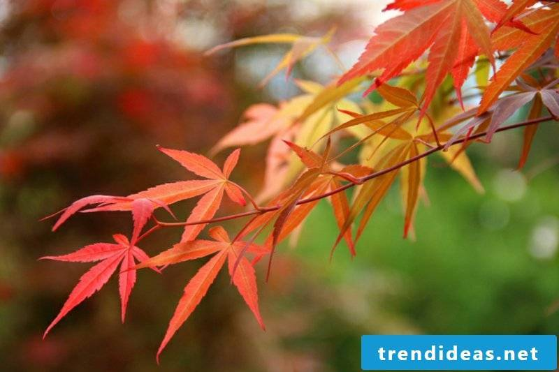Japanese maple species and helpful care tips
