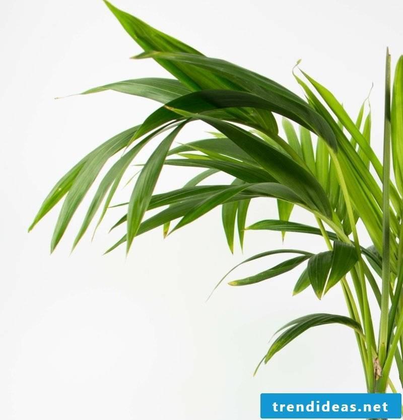 Kentia palm close-up