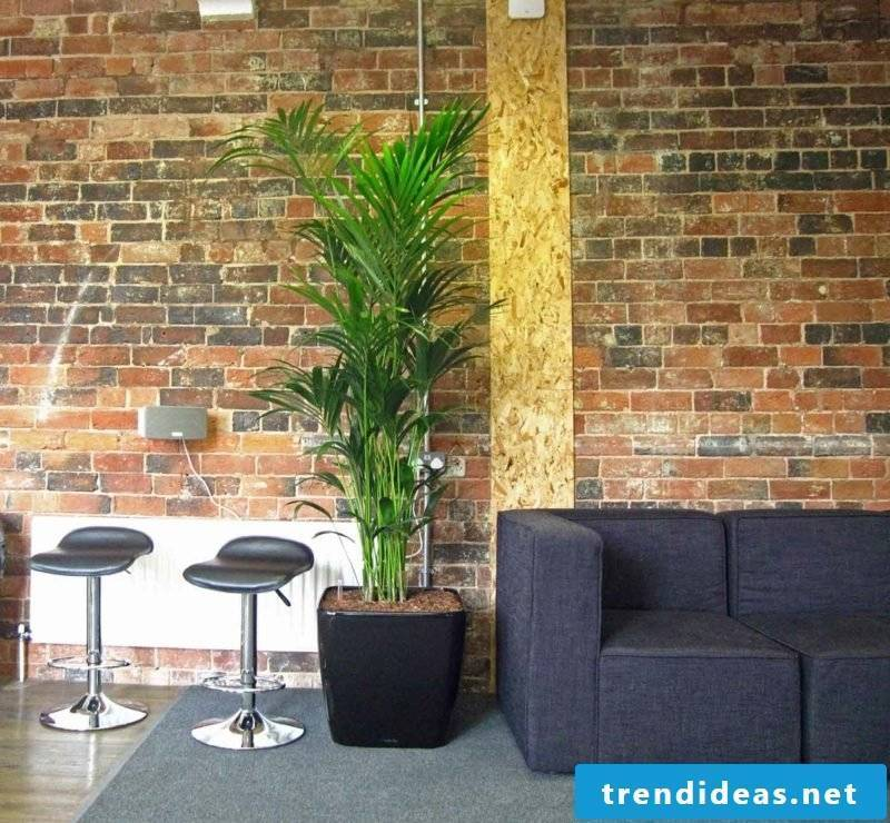Kentia Palm Tree Informal Meeting area bushy