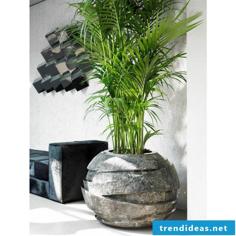Kentia palm pot