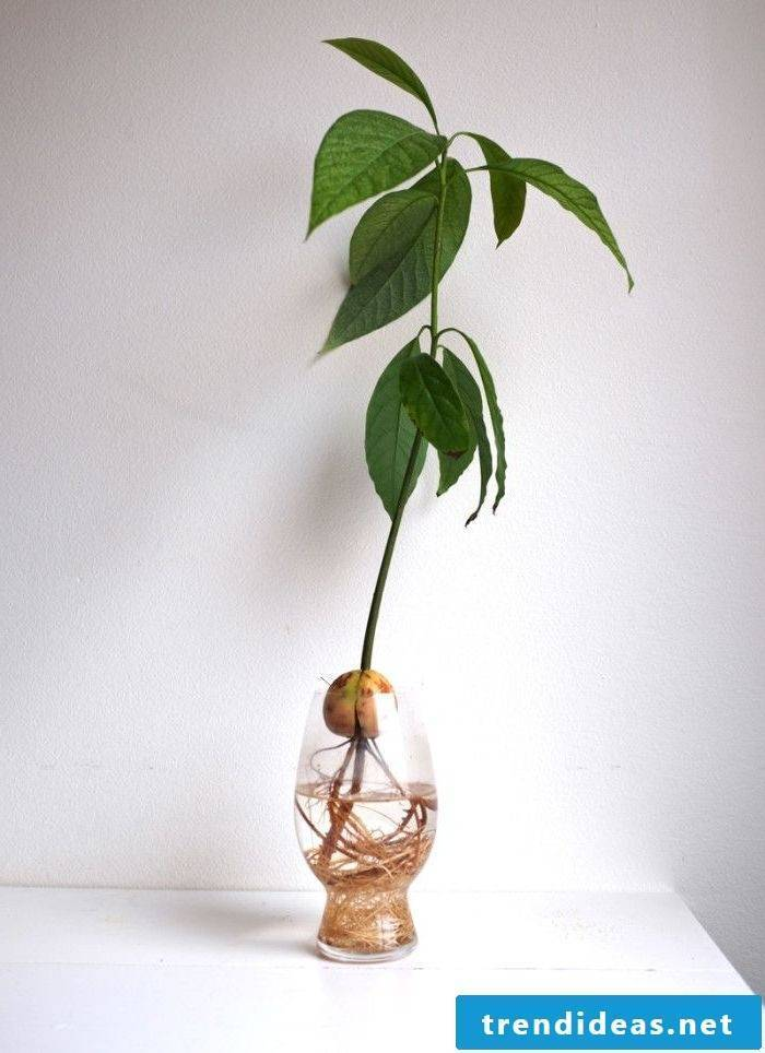 Pull avocado yourself - give love and care to your avocado tree!