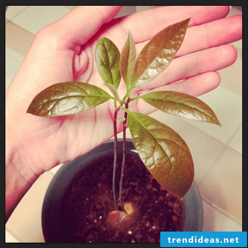 Planting avocado seeds - detailed step-by-step instructions with pictures