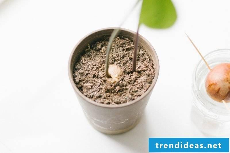 Planting avocado pots in flowerpot