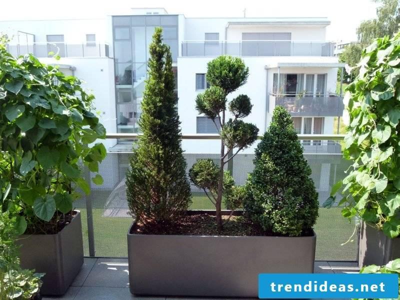 Terraced plant evergreen