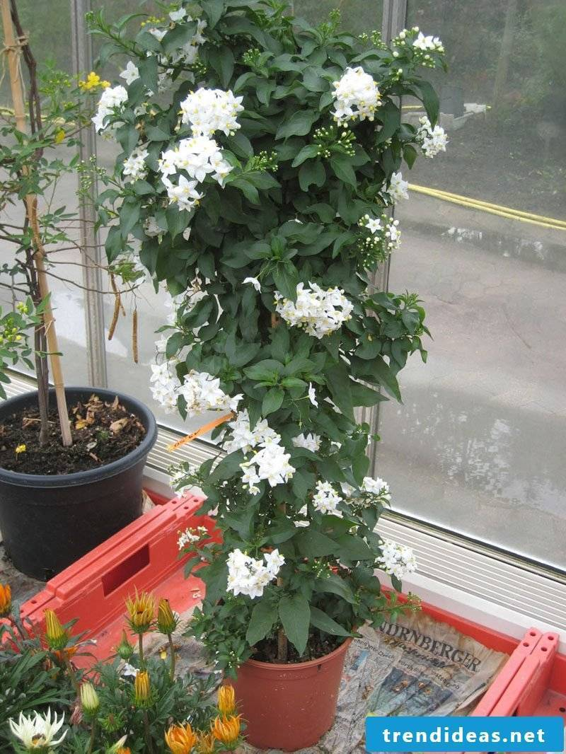 Mallow patio plants