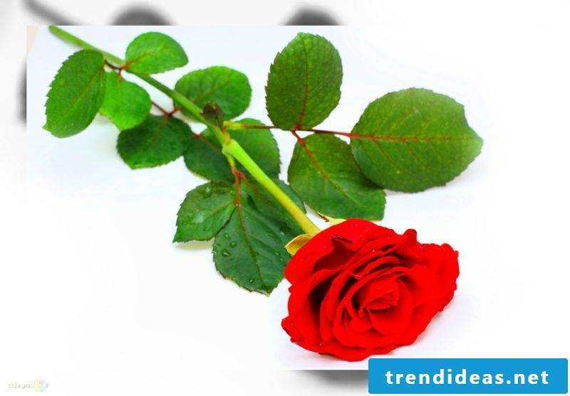 Plant Rubedo The rose is a comprehensive, varied symbol
