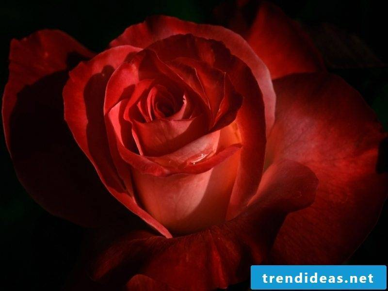 Valentine's Day: Alternatives for roses in February