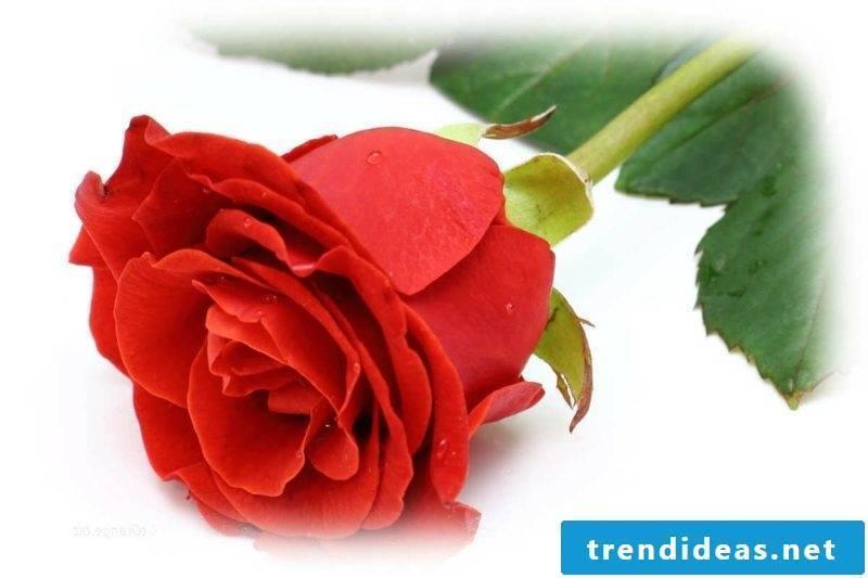 Eros Principle Lotus Mandala Plant Rosa