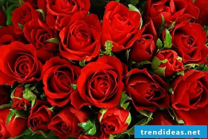 This timelessly beautiful red rose is the ideal gift idea for romantics