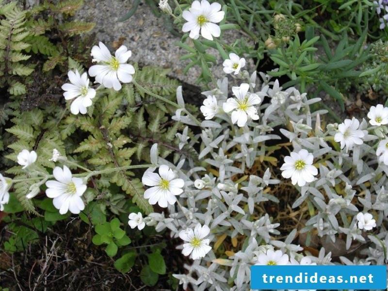 Hornwort Cerastium tomentosum