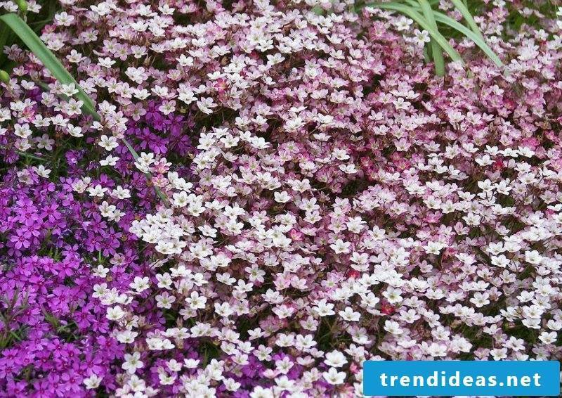 Upholstered perennials as groundcover