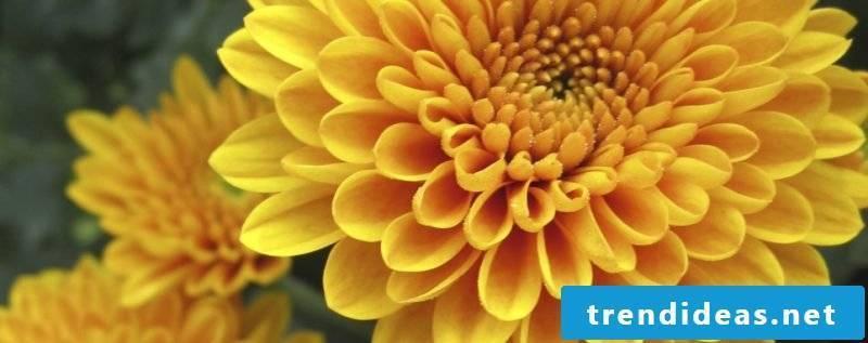 floral chrysanthemum
