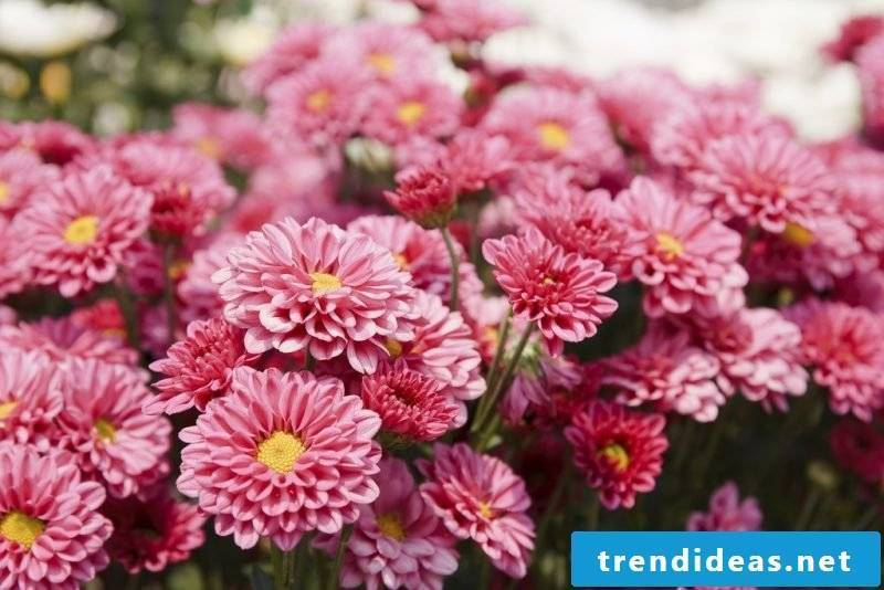 flowers chrysanthemum plant dictionary of flowers