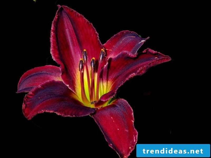 flowers lillie