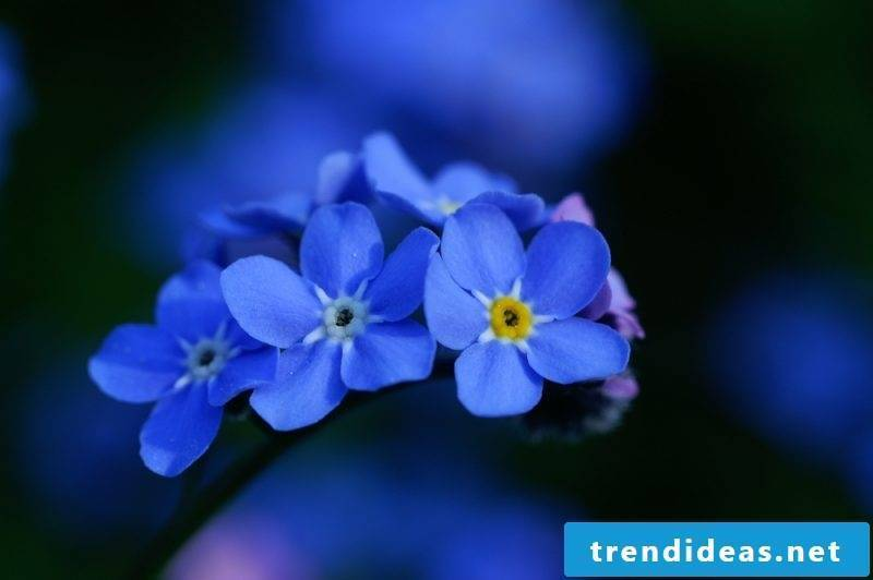 flowers forget-me-not beautiful flower pictures
